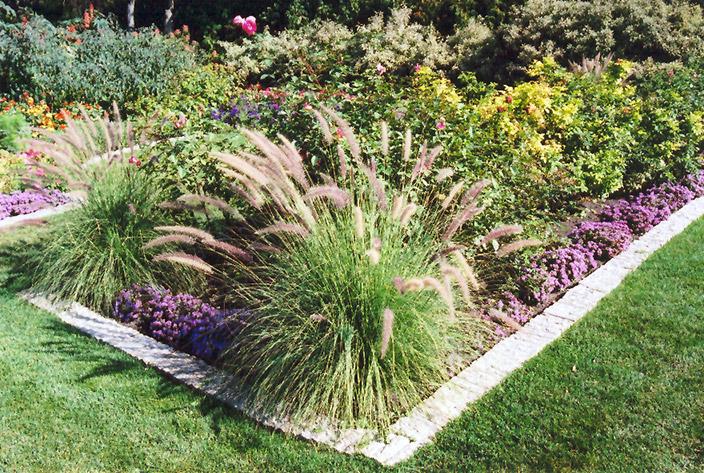 Ornamental Grasses Victoria Bc : Fountain grass pennisetum setaceum in vancouver victoria