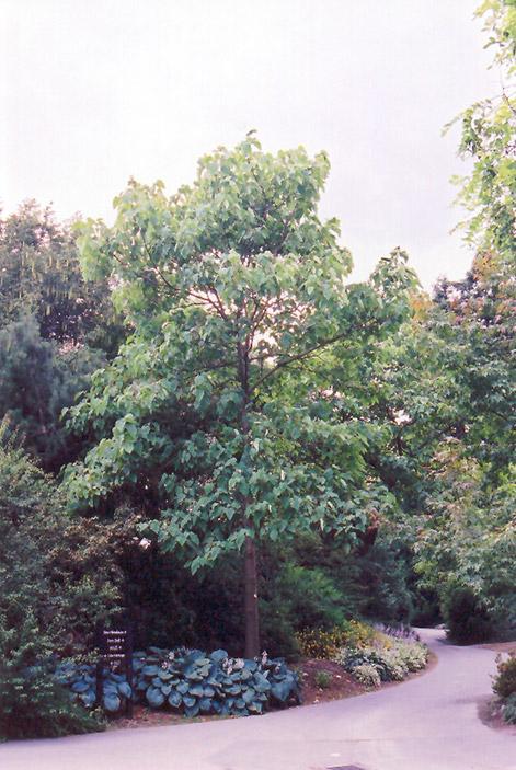 Royal Empress Tree Paulownia tomentosa in Vancouver Victoria