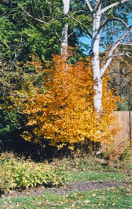 Saskatoon Amelanchier Alnifolia In Vancouver Victoria