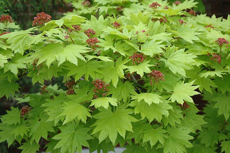Golden Full Moon Maple Acer Shirasawanum Aureum In