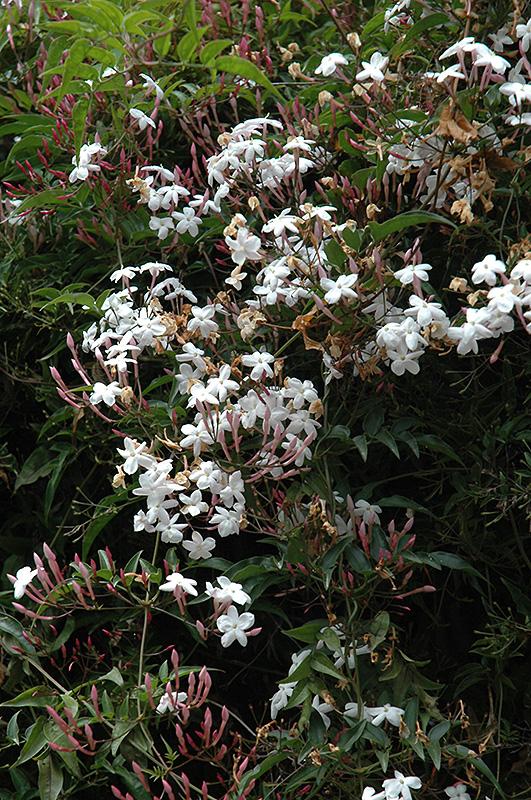 climbing jasmine jasminum polyanthum in vancouver. Black Bedroom Furniture Sets. Home Design Ideas