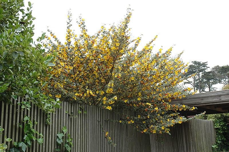 California Glory Fremontodendron Fremontodendron
