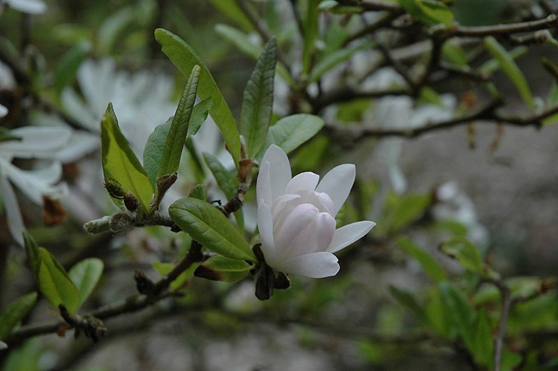 Pink Star Magnolia Magnolia Stellata Rosea In Vancouver Victoria