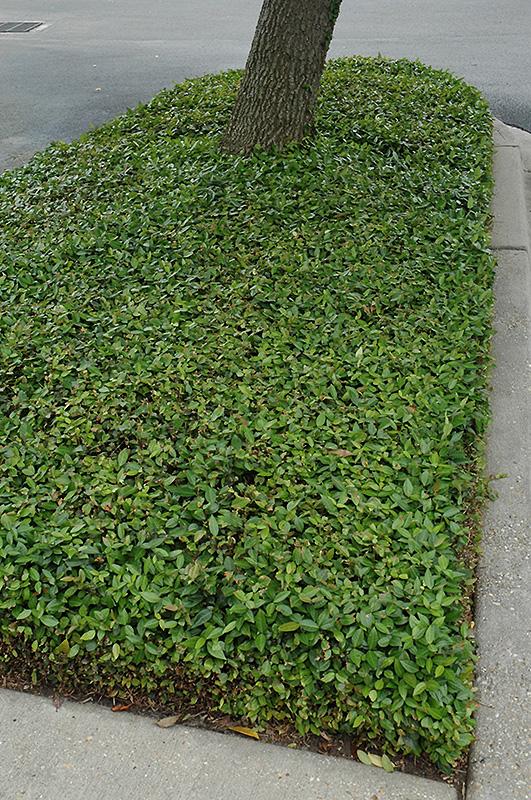 Asian Jasmine Trachelospermum Asiaticum In Vancouver