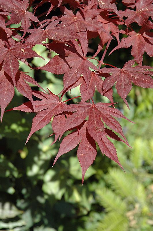 Purple Ghost Japanese Maple Acer Palmatum Purple Ghost In
