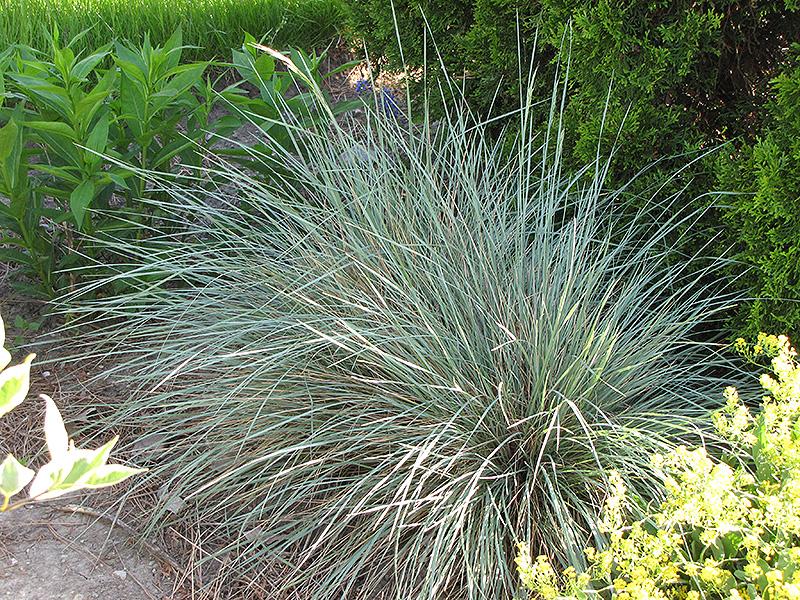 Ornamental Grasses Victoria Bc : Sapphire blue oat grass helictotrichon sempervirens