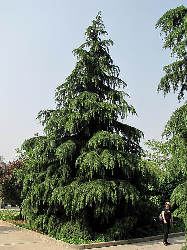 Kashmir Deodar Cedar Cedrus Deodara Kashmir In