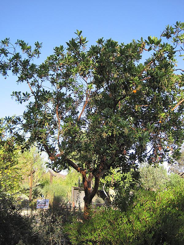 Marina Strawberry Tree (Arbutus 'Marina') in Vancouver Victoria