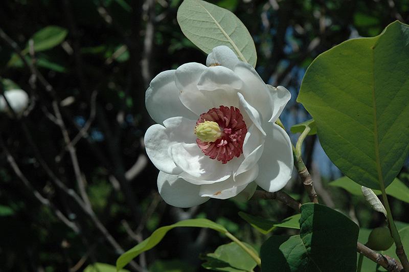 Oyama Magnolia Magnolia Sieboldii In Vancouver Victoria Burnaby