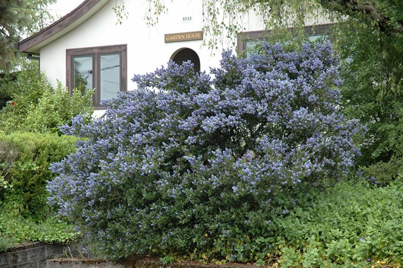 Victoria California Lilac Ceanothus Thyrsiflorus