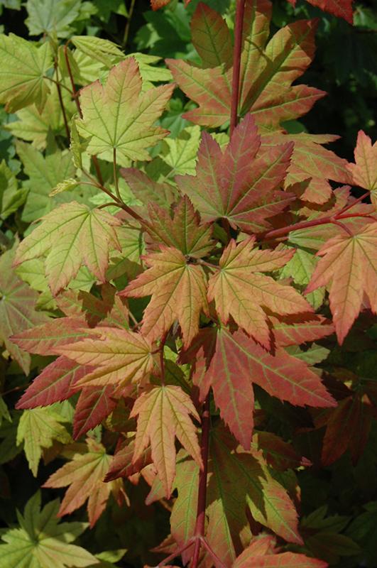 Vine Maple Acer Circinatum In Vancouver Victoria Burnaby Penticton