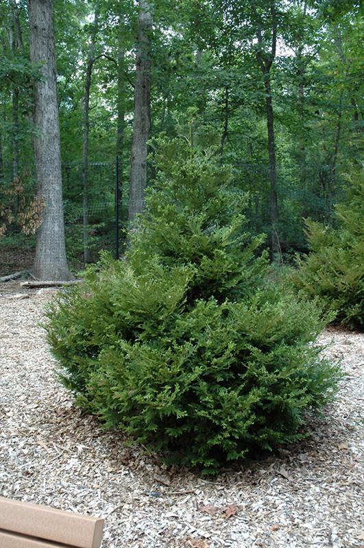 Thujopsis dolobrata HIBA ARBORVITAE Seeds! Home & Garden Trees