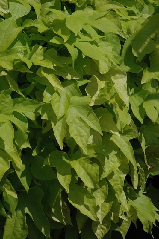 Bright Ideas Lime Sweet Potato Vine Ipomoea Batatas
