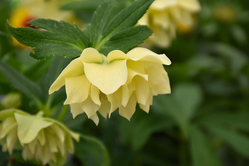 Golden Lotus Hellebore Helleborus Golden Lotus In Vancouver