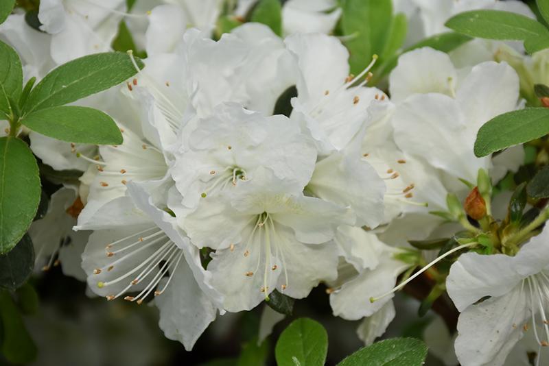 Girards pleasant white azalea rhododendron girards pleasant girards pleasant white azalea rhododendron girards pleasant white at gardenworks mightylinksfo