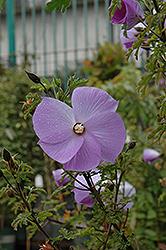 Santa Cruz Lilac Hibiscus Alyogyne Huegelii Santa Cruz