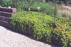 Creeping Jenny (Lysimachia nummularia) at GardenWorks