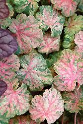 Snowfire Coral Bells (Heuchera sanguinea 'Snowfire') at GardenWorks