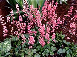 Strawberry Candy Coral Bells (Heuchera 'Strawberry Candy') at GardenWorks