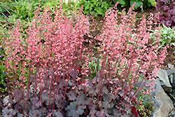 Vesuvius Coral Bells (Heuchera 'Vesuvius') at GardenWorks