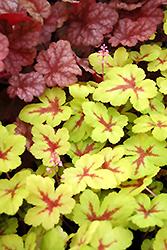 Sunspot Foamy Bells (Heucherella 'Sunspot') at GardenWorks