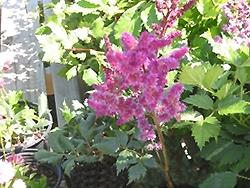 Granat Astilbe (Astilbe x arendsii 'Granat') at GardenWorks