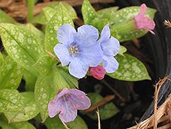 Baby Blue Lungwort (Pulmonaria 'Baby Blue') at GardenWorks