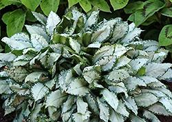 Moonshine Lungwort (Pulmonaria 'Moonshine') at GardenWorks