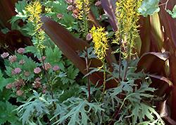 Dragon's Breath Rayflower (Ligularia przewalskii 'Dragon's Breath') at GardenWorks