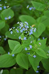 Siberian Bugloss (Brunnera macrophylla) at GardenWorks