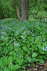 Virginia Bluebells (Mertensia virginica) at GardenWorks