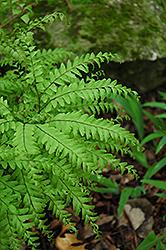 Northern Maidenhair Fern (Adiantum pedatum) at GardenWorks
