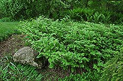 Variegated Solomon's Seal (Polygonatum odoratum 'Variegatum') at GardenWorks
