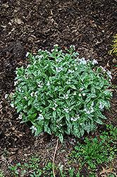Opal Lungwort (Pulmonaria 'Opal') at GardenWorks
