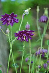 Dark Purple Barlow Columbine (Aquilegia vulgaris 'Dark Purple Barlow') at GardenWorks