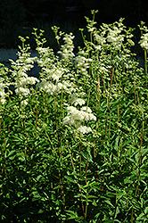 Queen Of The Meadow (Filipendula ulmaria) at GardenWorks