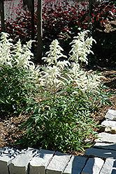 Deutschland Astilbe (Astilbe japonica 'Deutschland') at GardenWorks