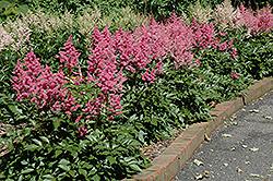 Rheinland Astilbe (Astilbe japonica 'Rheinland') at GardenWorks
