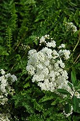 Double Dropwort (Filipendula vulgaris 'Flore Plena') at GardenWorks