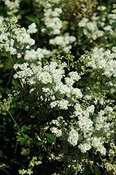 Dropwort (Filipendula vulgaris) at GardenWorks