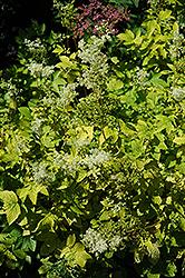 Golden Queen Of The Meadow (Filipendula ulmaria 'Aurea') at GardenWorks