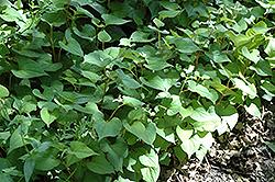 Chameleon Plant (Houttuynia cordata) at GardenWorks