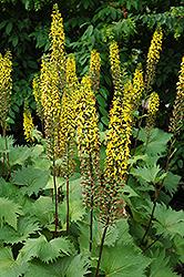 The Rocket Rayflower (Ligularia 'The Rocket') at GardenWorks