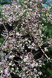Rochebrun Meadow Rue (Thalictrum rochebrunianum) at GardenWorks