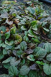 Bronze Beauty Bugleweed (Ajuga reptans 'Bronze Beauty') at GardenWorks
