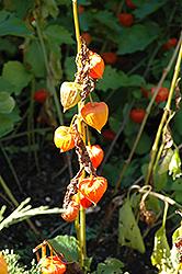 Chinese Lantern (Physalis alkekengi) at GardenWorks
