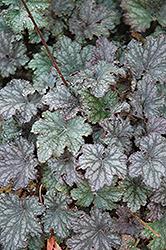 Frosted Violet Coral Bells (Heuchera 'Frosted Violet') at GardenWorks