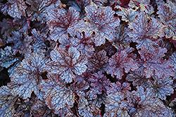 Plum Pudding Coral Bells (Heuchera 'Plum Pudding') at GardenWorks