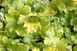 Lime Rickey Coral Bells (Heuchera 'Lime Rickey') at GardenWorks