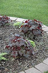 Palace Purple Coral Bells (Heuchera micrantha 'Palace Purple') at GardenWorks
